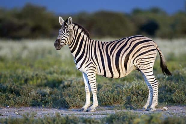 Zany Facts You Should Know About Zebras