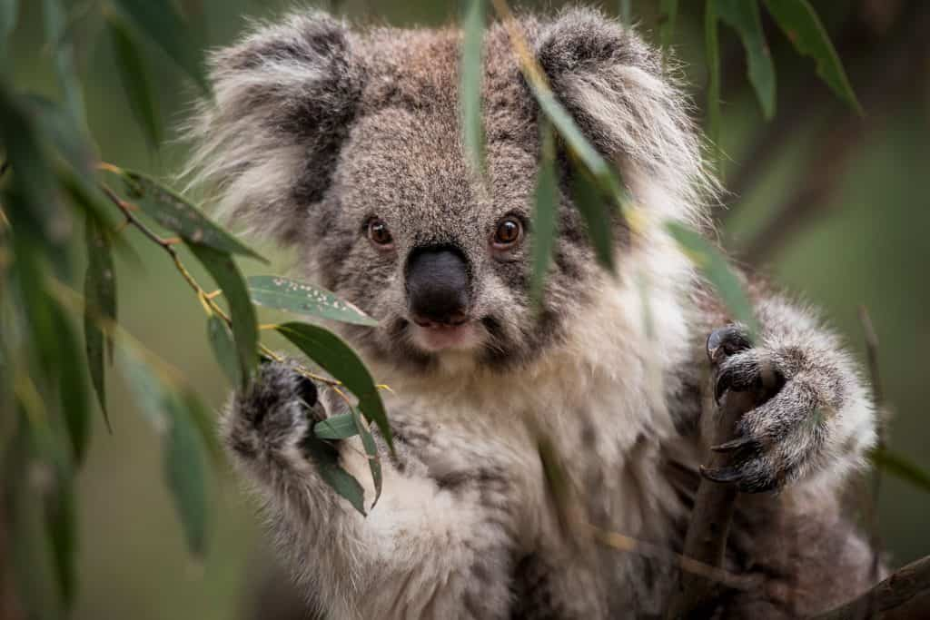 5 Interesting And Marvelous Facts About Koalas