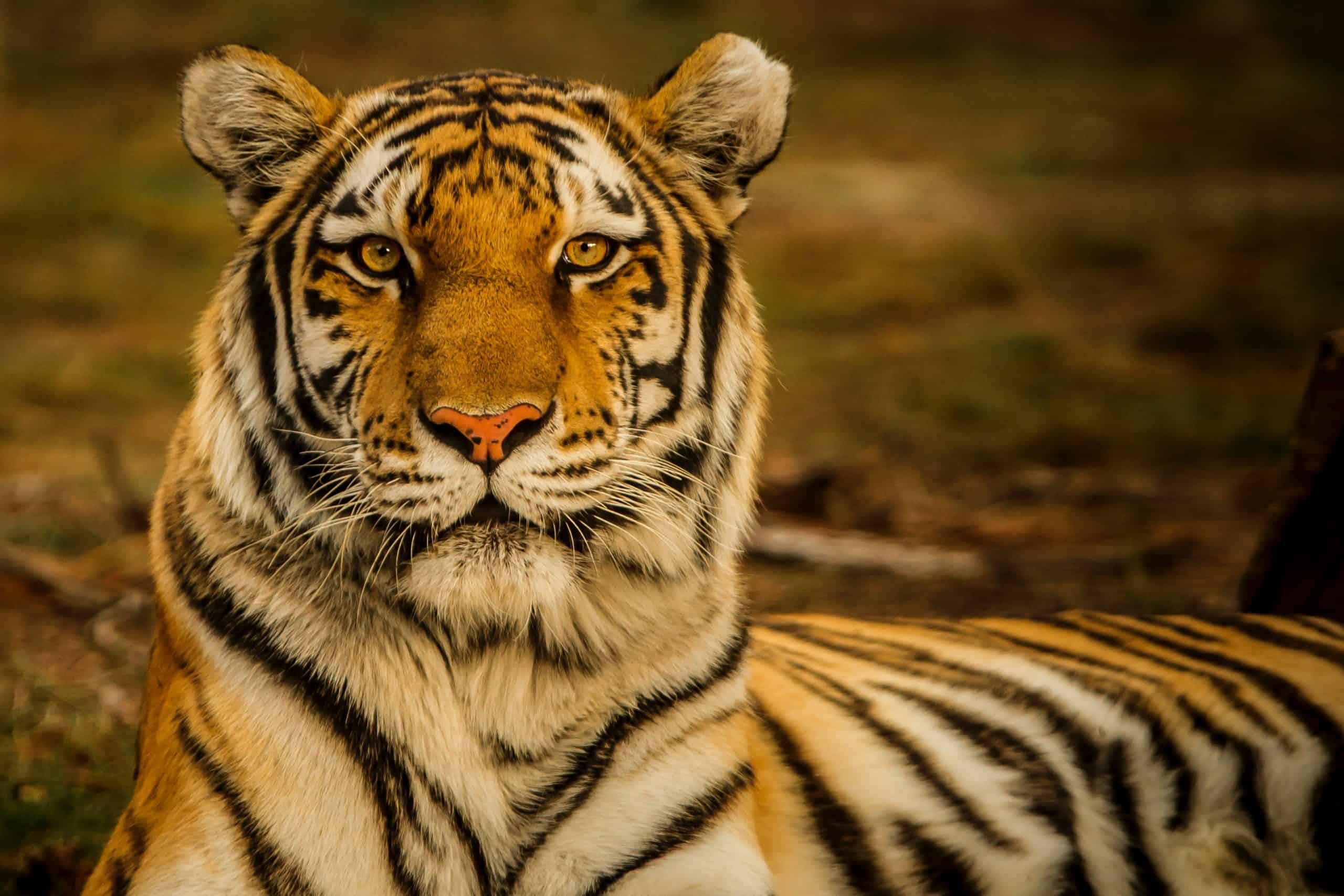 Top 5 Tiger Facts That You Need to Know