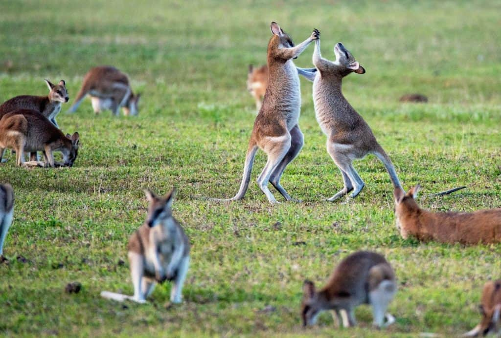 Cool Facts About Kangaroos That You Haven't Heard Yet