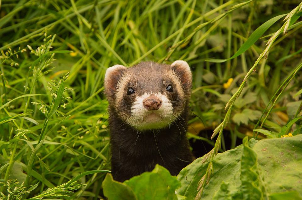 Facts About Ferrets: Discovering Another Side of The Story With These 5 Books