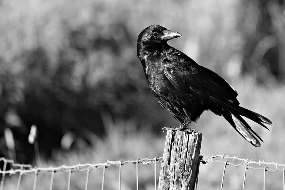 Facts About Crows: 5 Books In Meeting This Corvus Family Member
