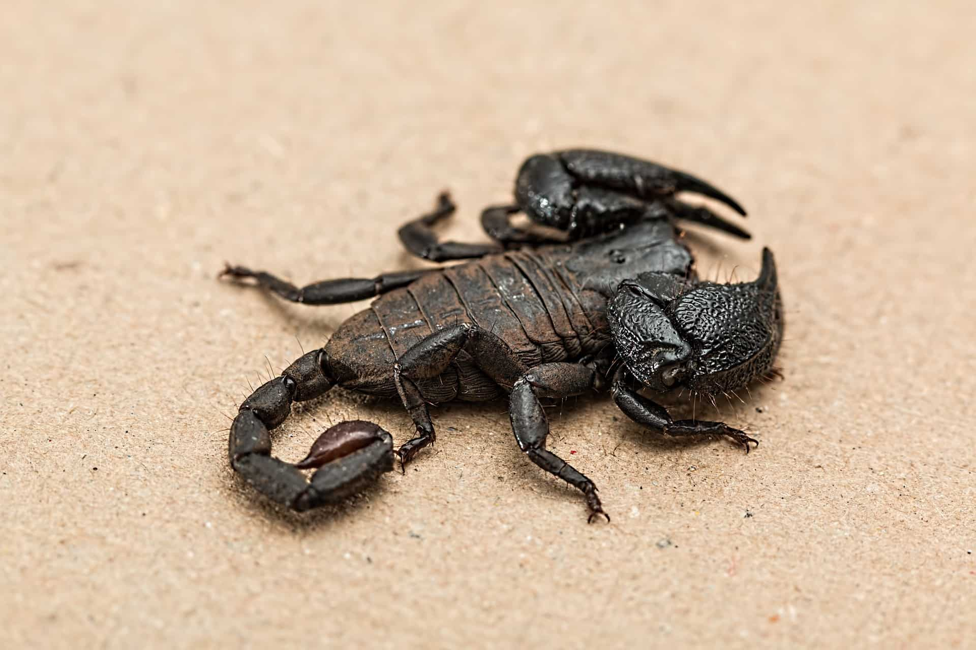 Amazing Facts About Scorpions: 4 Unknown Facts