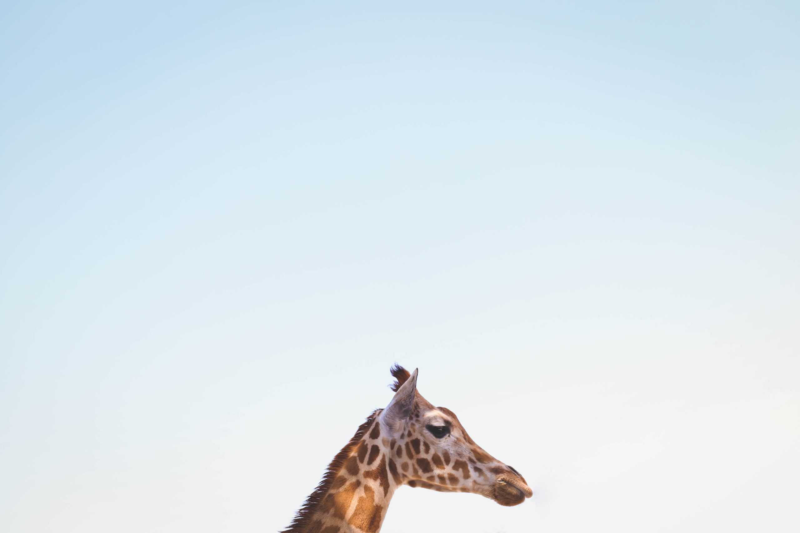 Giraffe Species And Facts About Them