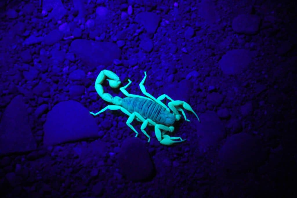 Pandinus And Other Types Of Scorpions