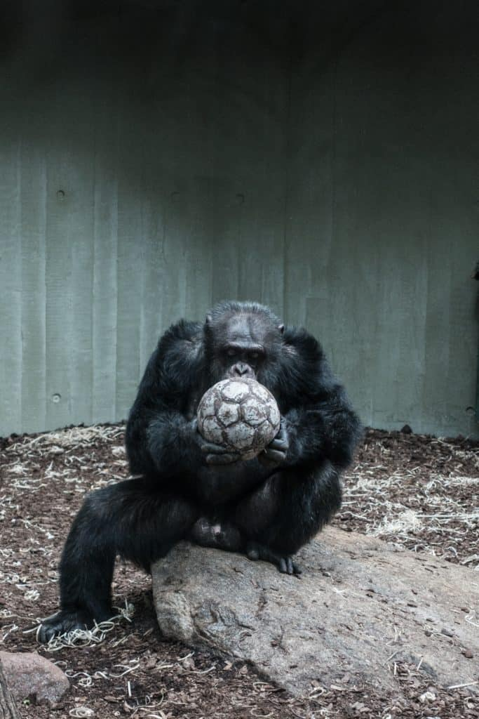 Chimpanzee: Skill And Other Details