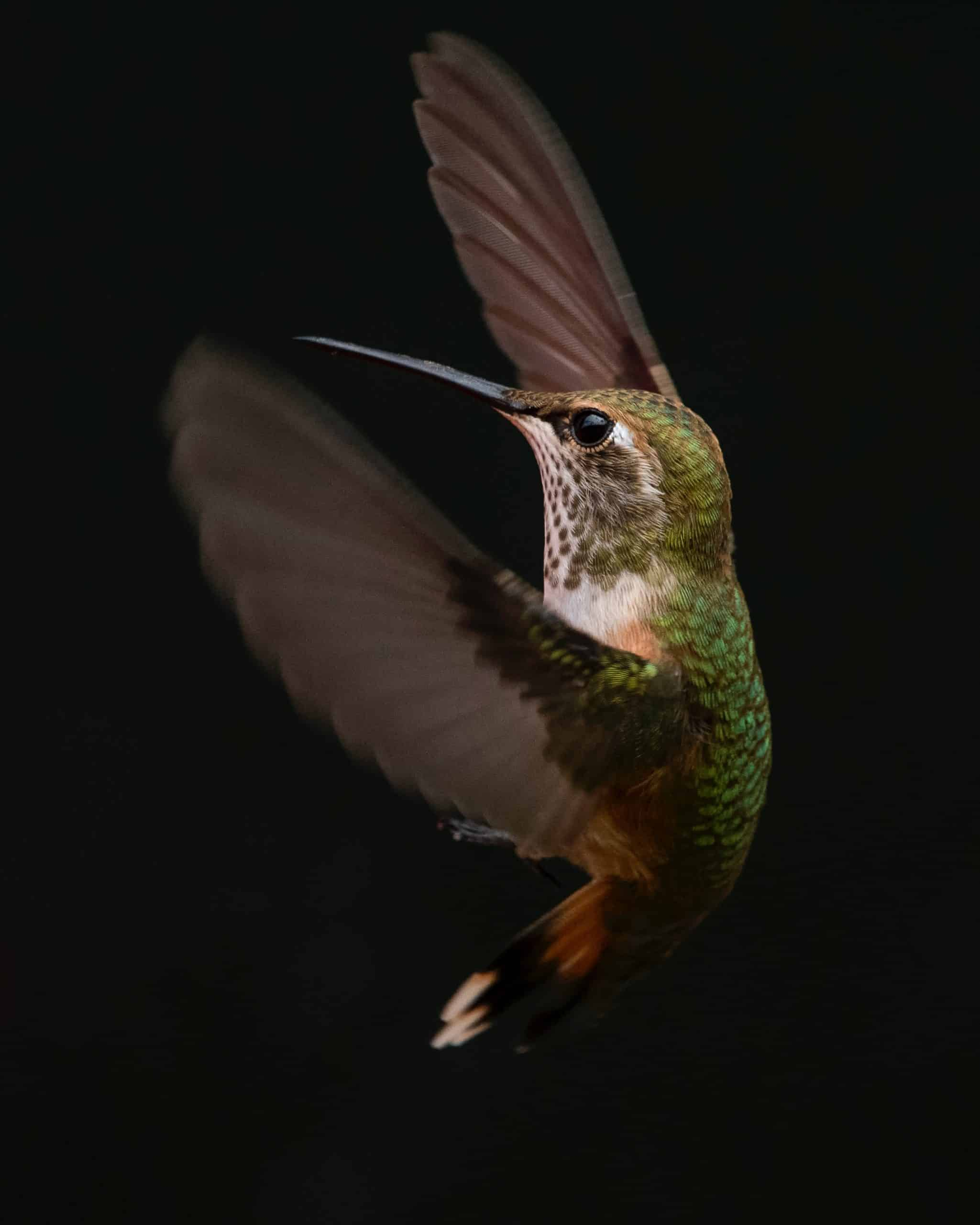 Hummingbirds And Some Things To Know About Them