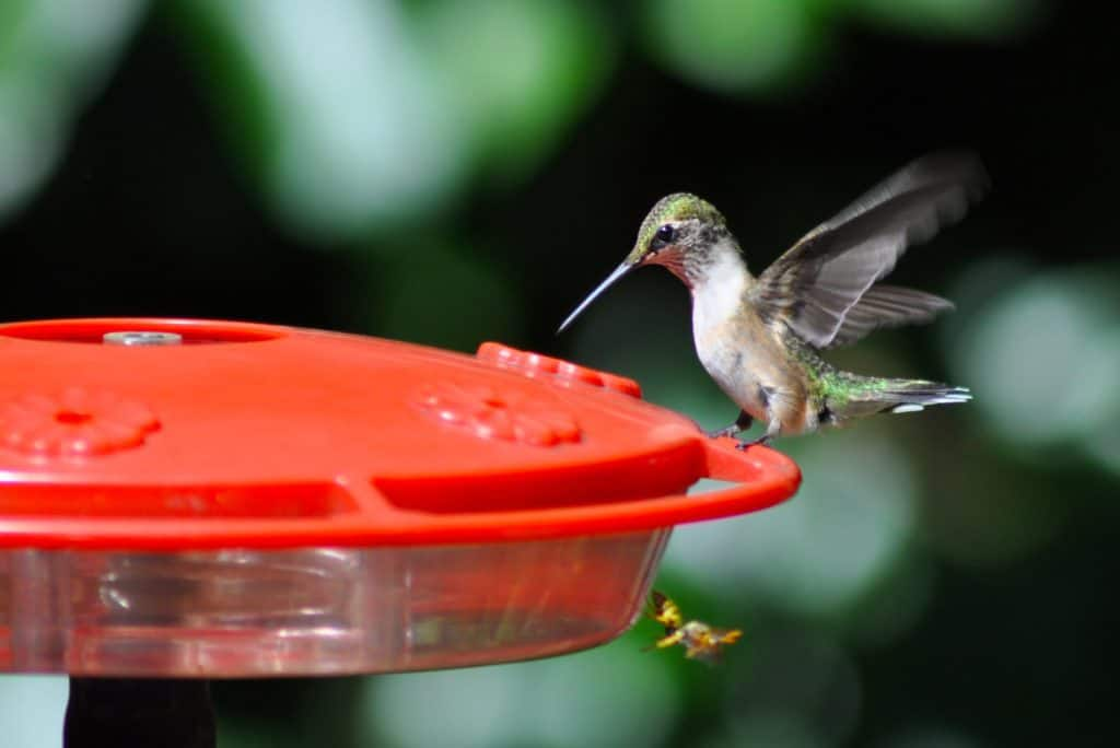 Get The Overview Of Hummingbird Predators And Their Characteristics