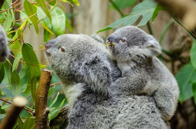 About Koalas: Interesting And Amazing Facts