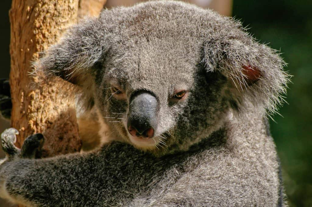Some Interesting Facts About Koalas