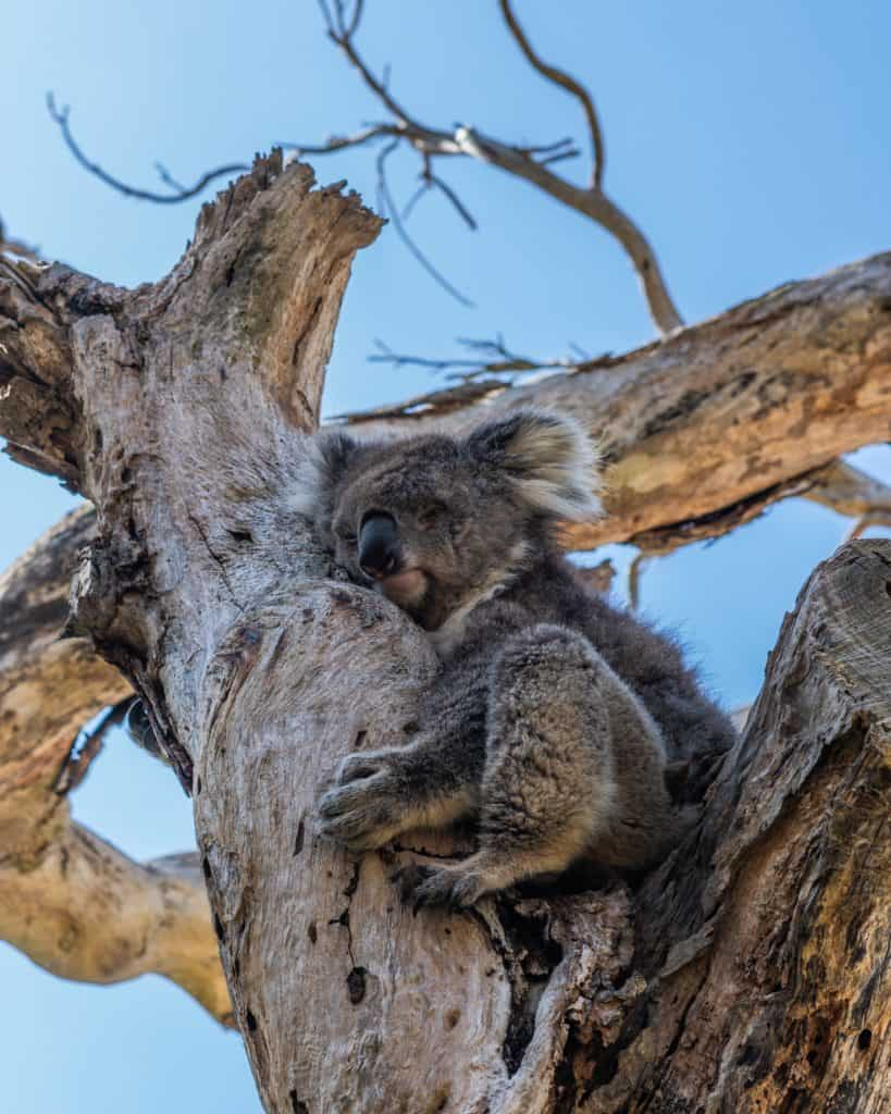 Facts About Koalas That We Should Be Aware It
