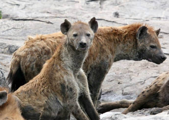 8 Interesting Facts About Hyena You Didn't Know!