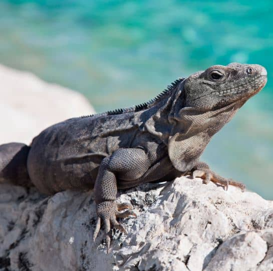Interesting Facts About Iguana
