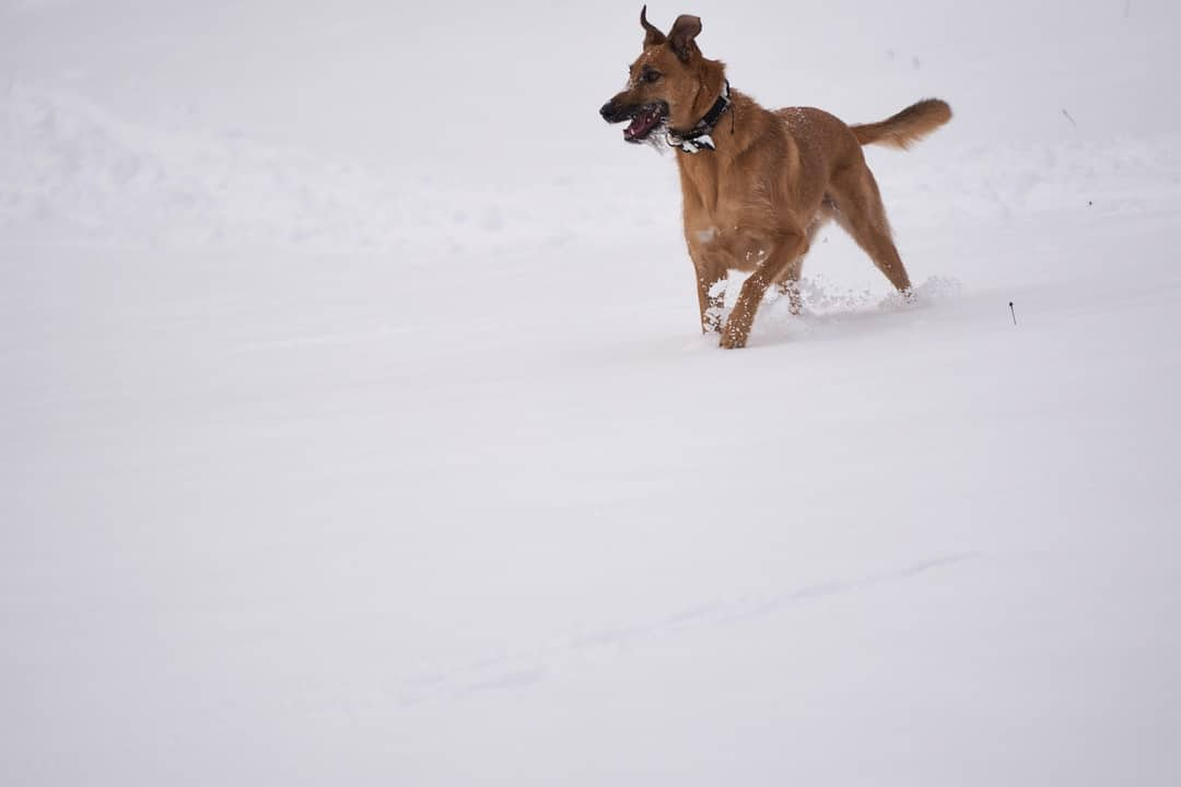 A dog running in the snow