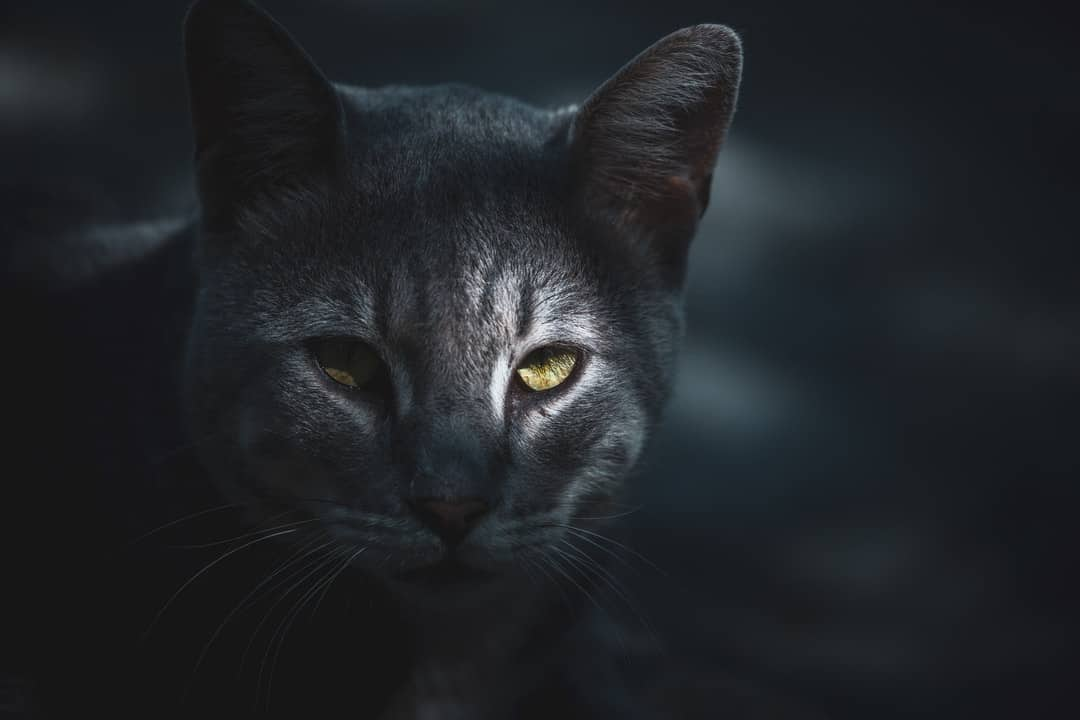 A close up of a cat looking at the camera