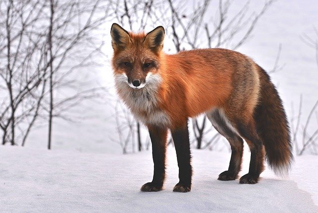 A fox covered in snow