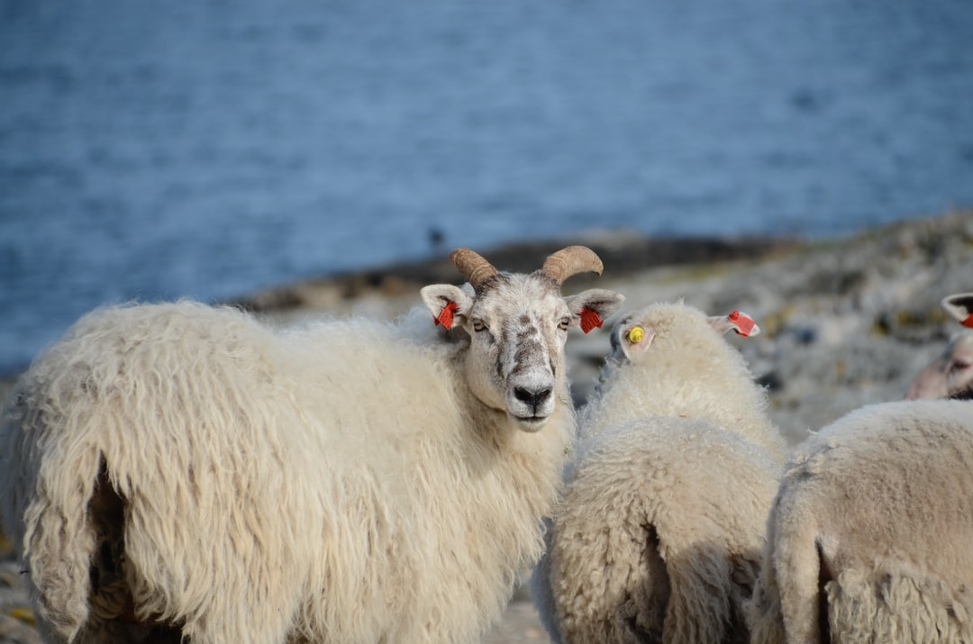 A herd of sheep standing on top of a field