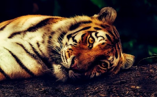 A close up of a cat lying on top of a tiger