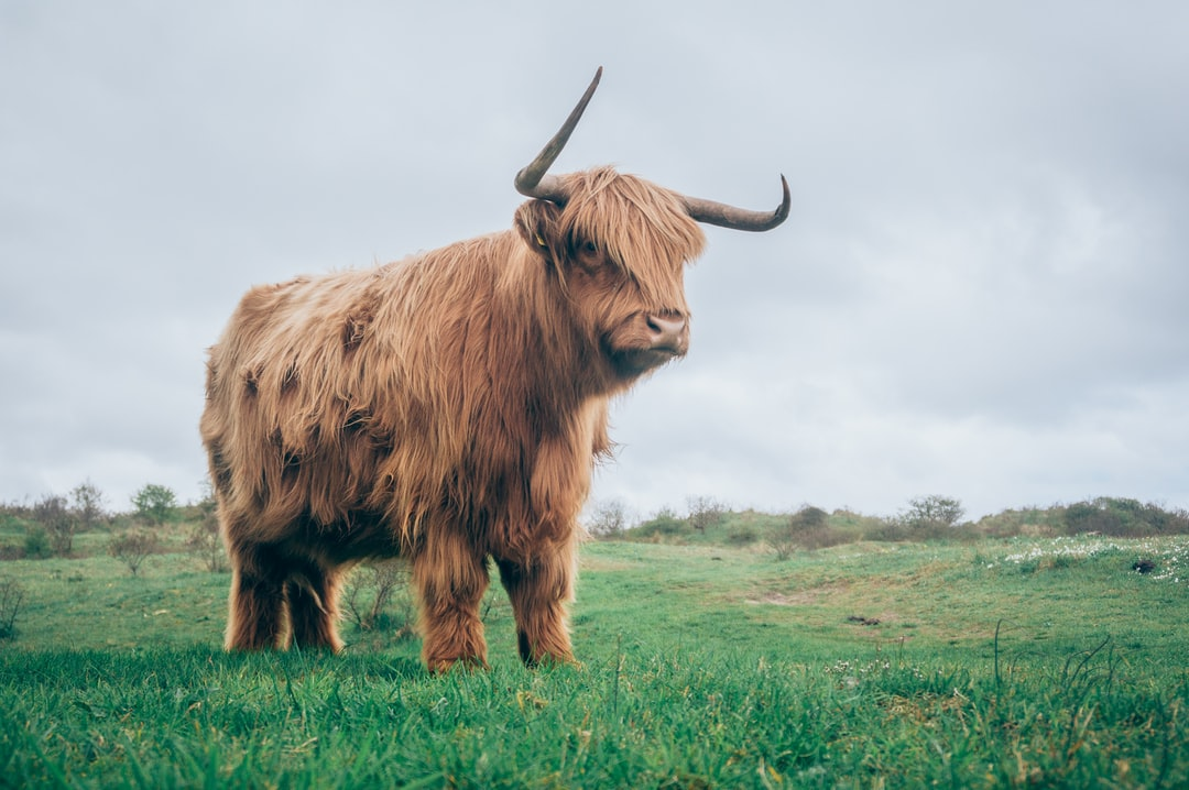 A large brown cow standing on top of a lush green field